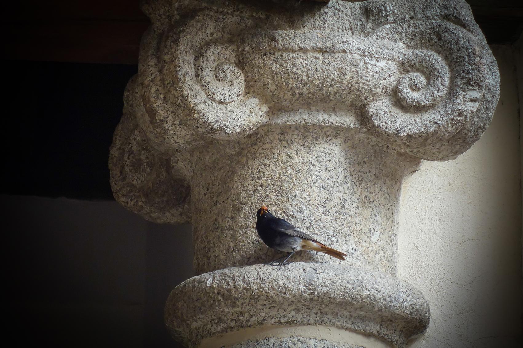 Colirrojo tizón, patio en Toledo